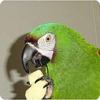 Adopt A Pet :: Jasper Mini Macaw - Vancouver, WA