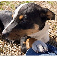 Adopt A Pet :: Willow-Pending Adoption - Fredericksburg, VA