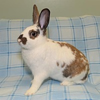 Adopt A Pet :: Felix - Chesterfield, MO