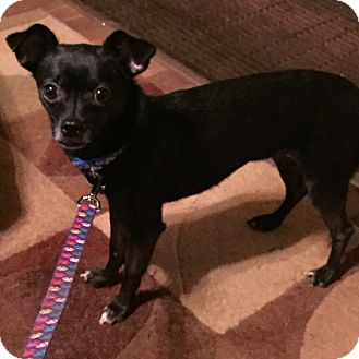 Chihuahua Mix Dog for adoption in Torrington, Wyoming - Emmy