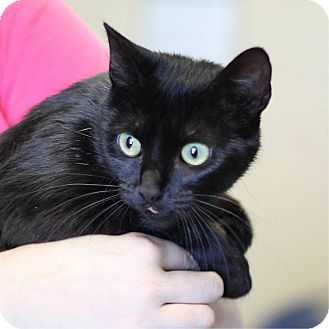 Domestic Shorthair Cat for adoption in South Haven, Michigan - Emereld
