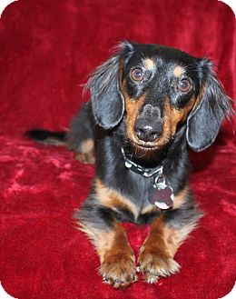 Dachshund Puppy for adoption in Louisville, Colorado - Hans So-Low