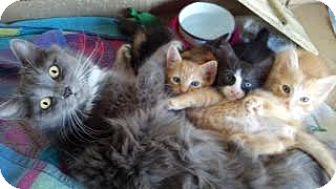 Domestic Longhair Cat for adoption in Scottsdale, Arizona - Darla