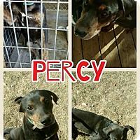Adopt A Pet :: Percy meet me 1/20 - Manchester, CT