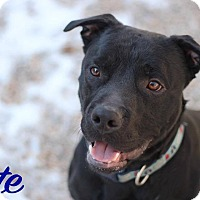 Adopt A Pet :: Pete - Middlebury, CT