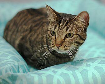 Domestic Shorthair Cat for adoption in Monrovia, California - Katrina