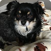 Adopt A Pet :: Luna - Overland Park, KS
