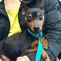 Adopt A Pet :: LADY - NYC, NY