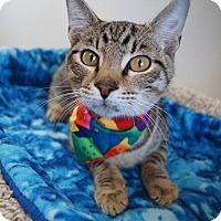 Adopt A Pet :: POTSTICKER - RESTAURANT KITTY - Plano, TX