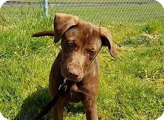 Labrador Retriever Dog for adoption in Reedsport, Oregon - Piper