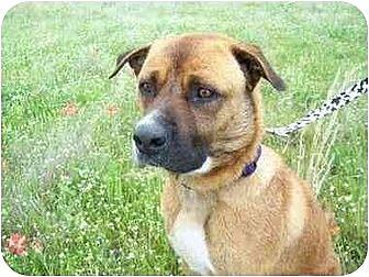 Boxer/Mastiff Mix Dog for adoption in Kaufman, Texas - Kirby