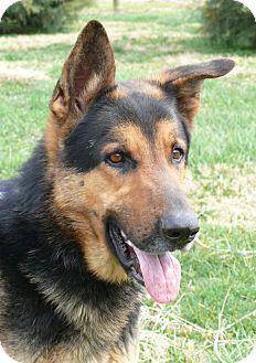 German Shepherd Dog Dog for adoption in Nashville, Tennessee - Jackson