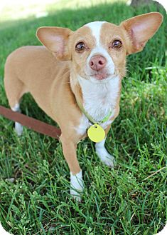Chihuahua Mix Dog for adoption in Westminster, Colorado - Hope