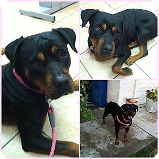 Rottweiler Mix Dog for adoption in Scottsdale, Arizona - LJ