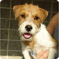 Adopt A Pet :: Vinnie - Arlington, TX