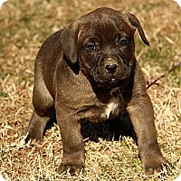 Adopt A Pet :: Barrington - Brattleboro, VT