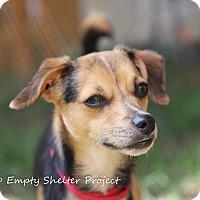 Adopt A Pet :: *adoption pending* Fizban - Manassas, VA