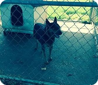 Australian Cattle Dog Mix Dog for adoption in Gallatin, Tennessee - Buddy