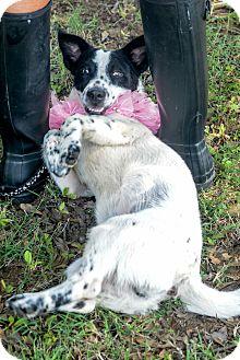 Spaniel (Unknown Type)/Cardigan Welsh Corgi Mix Dog for adoption in Muldrow, Oklahoma - Harper