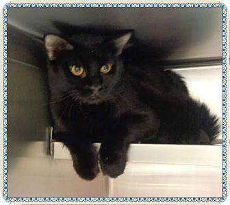Domestic Longhair Cat for adoption in Marietta, Georgia - RAINER