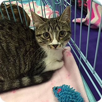 Domestic Mediumhair Kitten for adoption in Mansfield, Texas - Koala