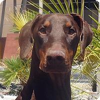 Adopt A Pet :: Dash - Las Vegas, NV