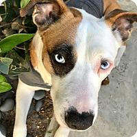 Adopt A Pet :: Jolene - Los Angeles, CA