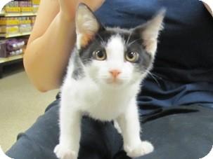 Domestic Shorthair Kitten for adoption in Diamond Bar, California - ADAM