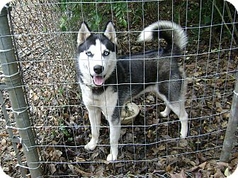 Siberian Husky Dog for adoption in Conyers, Georgia - Kilo