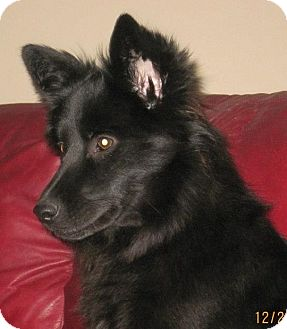 Schipperke/Shepherd (Unknown Type) Mix Dog for adoption in North Olmsted, Ohio - Frisky-Courtesy Post