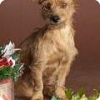 Adopt A Pet :: Avery - wire haired dachie! - Phoenix, AZ