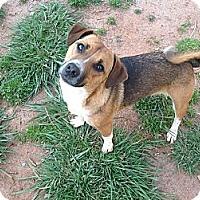 Adopt A Pet :: Amandy - hartford, CT
