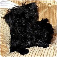 Adopt A Pet :: BIJOU - ADOPTION PENDING - Little Rock, AR
