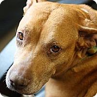 Adopt A Pet :: Gertie - Reisterstown, MD