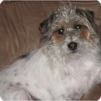 Adopt A Pet :: Molly in Houston - Houston, TX