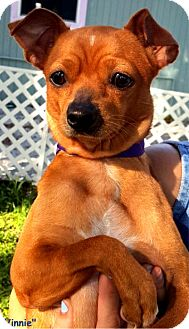 Chihuahua Mix Dog for adoption in Key Largo, Florida - Vinnie