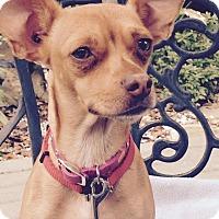 Adopt A Pet :: Cinnamon - Lodi, CA