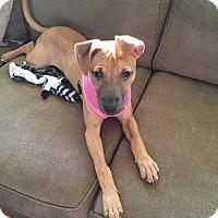 Adopt A Pet :: Harley - Newtown, CT