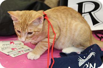 Domestic Shorthair Kitten for adoption in Wichita, Kansas - Snickers