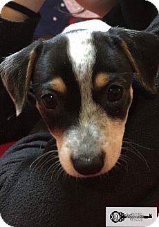 Shepherd (Unknown Type) Mix Puppy for adoption in DeForest, Wisconsin - Oreo