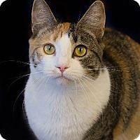 Adopt A Pet :: Sugar Bear - Washburn, WI