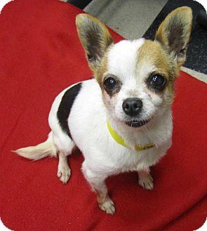 Chihuahua Dog for adoption in Studio City, California - Dottie (4 lbs.)