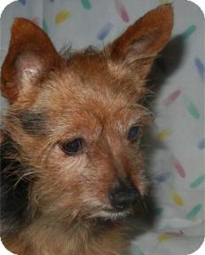 Yorkie, Yorkshire Terrier Dog for adoption in Antioch, Illinois - Wynn