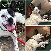 Adopt A Pet :: Mazey - Jacksonville, FL