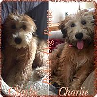 Adopt A Pet :: Charlie - South Gate, CA