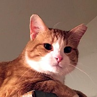 Domestic Shorthair Cat for adoption in Stanhope, New Jersey - Magik