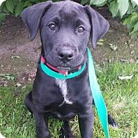 Adopt A Pet :: Ellis - Kirkland, WA