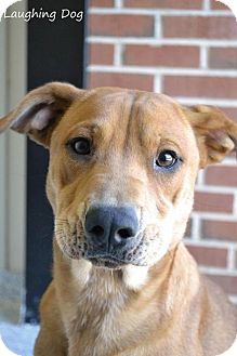 Shar Pei/Labrador Retriever Mix Dog for adoption in Stillwater, Oklahoma - Sandy