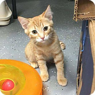 Domestic Shorthair Kitten for adoption in Lombard, Illinois - Gibson