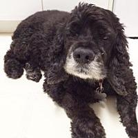 Cocker Spaniel Dog for adoption in Satellite Beach, Florida - Schotzie